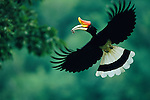 A Rhinoceros Hornbill (Buceros rhinoceros) male carrying mouse to nest.  Thailand...IUCN Red List: Near Threatened