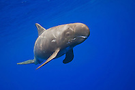 pygmy killer whale, Feresa attenuata, scout with many scars, Kona Coast, Big Island, Hawaii, Pacific Ocean