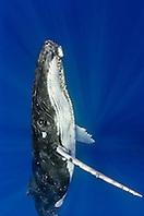 Humpback Whale, Megaptera novaeangliae, Hawaii, USA, Pacific Ocean