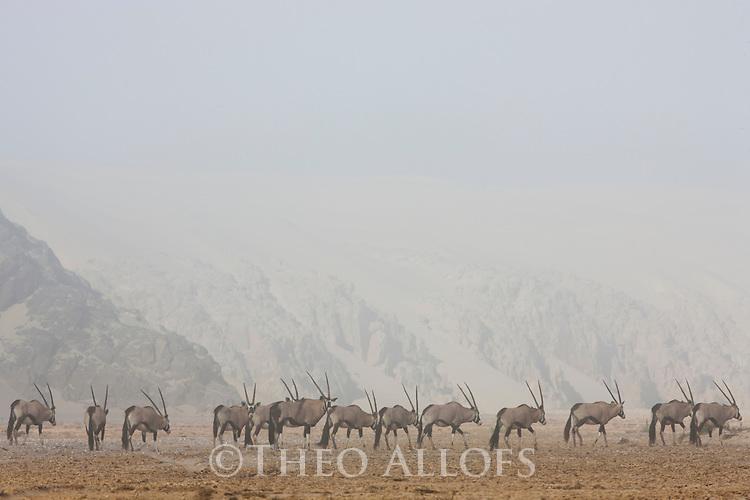 Namibia;  Namib Desert, Skeleton Coast oryx antelope (Oryx gazella), large group in dry river bed, coastal fog