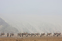 Namibia;  Namib Desert, Skeleton Coast oryx antelope (Oryx gazella), large group in dry river bed, coastal fog
