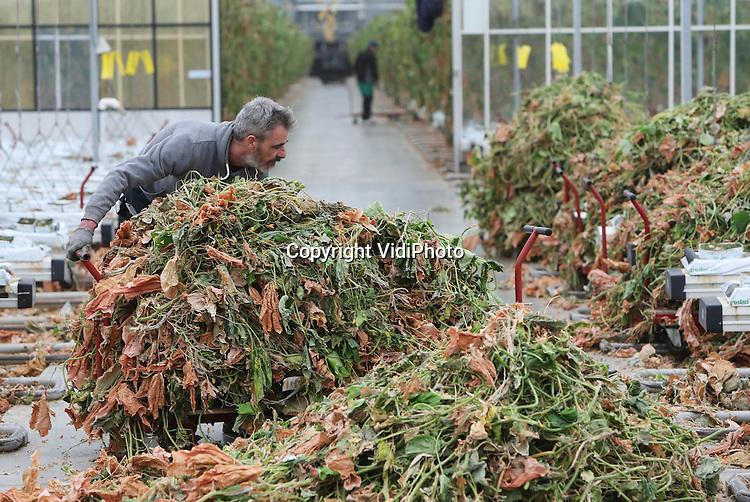 Foto: VidiPhoto<br /> <br /> HUISSEN - Poolse medewerkers van komkommerteler Jakom BV in Huissen bij Arnhem zijn dinsdag begonnen met het wegsnijden van 85.000 verouderde komkommerplanten. Deze zogenoemde teeltwisseling is nodig om eind december weer te kunnen beginnen met een jong en fris gewas. Tijdens de winterperiode kunnen Spaanse telers goedkoper leveren dan de Nederlandse. Voor die tijd moeten de oude planten er uit en worden de 5,6 ha. grote kassen schoongemaakt en ontsmet. In maart 2017 worden vervolgens de eerste komkommers weer geoogst. Veel komkommertelers hebben door een combinatie van factoren voor het tweede achtereenvolgende jaar flinke winst geboekt na een zestal slechte seizoenen. Zo is zo'n 10 procent van de telers gestopt, zijn de energieprijzen gedaald en heeft een te warme zomer de Spaanse productie verminderd. Dit jaar heeft Jakom bovendien geprofiteerd van het noodweer in Zuid-Nederland, waarbij tal van komkommerkassen zijn vernield vanwege hagelschade.