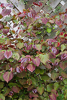 Cercis canadensis 'Forest Pansy' in spring