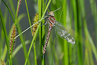 339600005 a wild teneral male shadow darner aeshna umbrosa perches on bogside water plants in central modoc county california