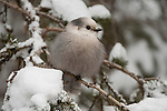 A gray jay perches on a snowy conifer branch in the Shoshone National Forest in Wyoming.