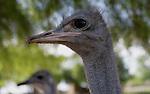 Foto: VidiPhoto..OUDTSHOORN - Een medewerker van de Highgate Ostrich Farm bij het Zuid-Afrikaanse Oudtshoorn vangt een struisvogel om de veren te plukken. Highgate is één van de 270 struisvogelfarms in de West-Kaap die de laatste jaren als paddestoelen uit de grond zijn geschoten. Het bedrijf heeft 1200 vogels op 1500 ha. De veren worden gebruikt voor onder meer plumeaus. Struivogelvlees neemt op dit moment in populairiteit enorm toe omdat er maar 3 procent vet in zit. Met name Europa importeert veel struisvogelvlees. Zuid-Afrika is inmiddels eén van de grootste struisvogelvleesexporteurs ter wereld.