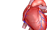 An anterolateral view (left side) of the heart. The coronary blood vessels are also included. Royalty Free