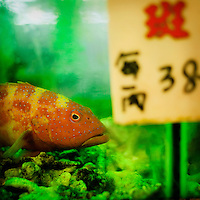 A grouper in a fish tank inside a restaurant. Customers can pick their own fish, pay by weight and have it served to their table in a very short time.