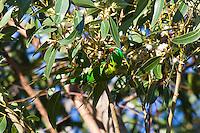 Scaly Breasted Lorikeet, Nelson Bay, NSW, Australia