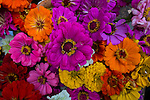 Colorful Zinnias on display at the Portland, Oregon Farmers' Market at Portland State University, the North Park Blocks