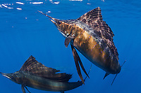 RG40839-D. Atlantic Sailfish (Istiophorus albicans), the fastest fish in the sea. Gulf of Mexico, Mexico, Caribbean Sea.<br /> Photo Copyright &copy; Brandon Cole. All rights reserved worldwide.  www.brandoncole.com