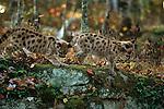 Mountain lion cubs, Minnesota