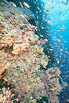 Bligh Waters, Rakiraki, Viti Levu, Fiji; an aggregation of Anthias fish swim amongst the yellow soft corals covering the walls of the Mellow Yellow dive site