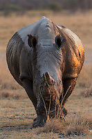 Frontal view of a muddy male White Rhinoceros