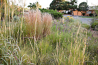 Andropogon gerardii, Big bluestem grass (far left), Little blue stem (Schizachyrium scoparium) pink flowering grass, Bouteloua curtipendula Sideoats Grama (fore) and green Buffalo grass with wildflower Liatris punctata in front yard meadow garden.
