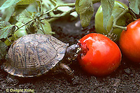 1R42-014x  Eastern Box Turtle - eating tomato in garden - Terrapene carolina