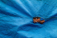 A Brazilian boy looks through the hole in a blue sheet to see unfinished allegorical floats in the Carnival workshop, Rio de Janeiro, Brazil, 19 February 2004.