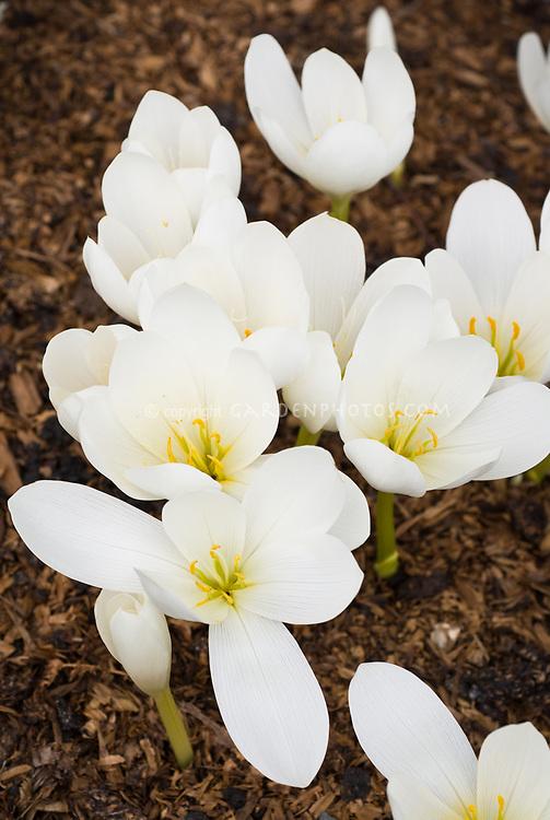 Colchicum speciosum Album (AGM) species autumn flowering bulb in fall bloom, white flowers