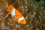 Poisson clown, Amphiprion ocellaris, Iles Banggai