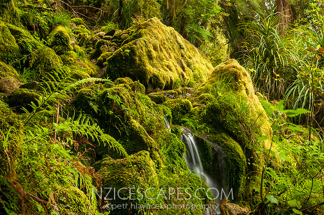 Track through native forest near Punakaiki Cave, Paparoa National Park, Buller Region, West Coast, New Zealand, NZ