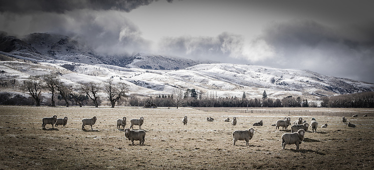 Sheep graze in an icy paddock during a clearing snow storm. Lindis Pass, South Island