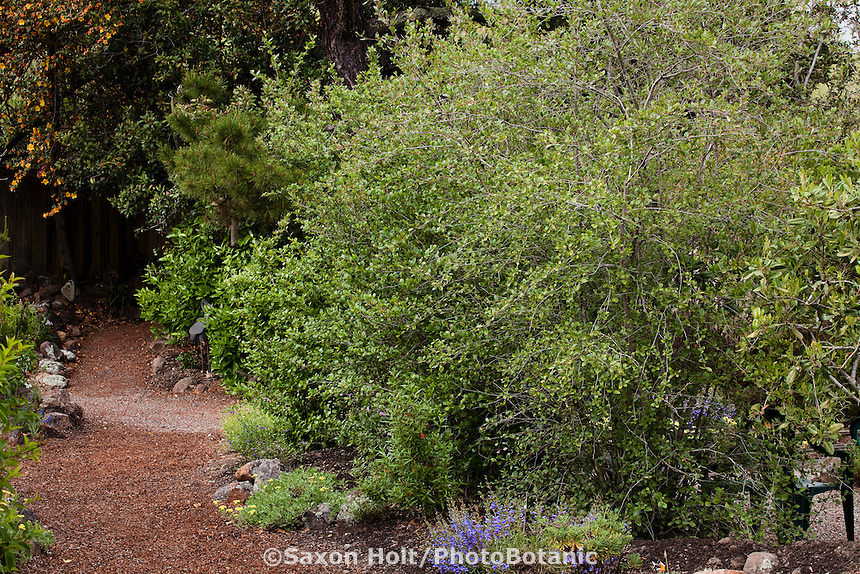 Cercocarpus betuloides Mountain Mahogany shrub by path in Kyte California native plant garden