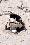 African Penguin & 2 Eggs