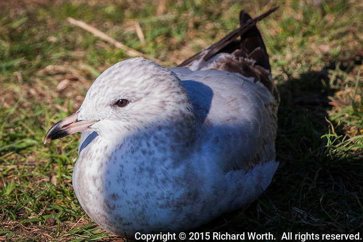 A subadult Ring-billed gull sits and watches, comfortably ensconced on the grass at a city park along San Francisco Bay's eastern shores.