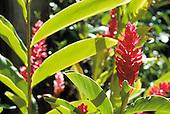 Alpinia purpurata