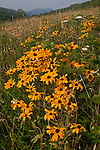 Black-eyed Susan (Rudbeckia hirta) along Max Patch Mountain, Pisgah National Forest