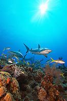 Caribbean reef sharks, Carcharhinus perezi, and yellowtail snappers, Ocyurus chrysurus, swimming over coral reef, Grand Bahamas, Bahamas, Caribbean Sea, Atlantic Ocean