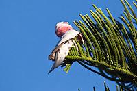 Galah, Sundowner Breakwater Park, Port Macquarie, NSW, Australia