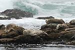 Harbor seals on rocks at Pebble Beach near Pescadero, CA