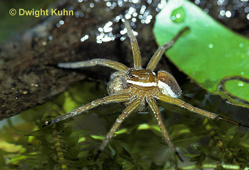 NS01-009b  Six Spotted Fishing Spider - Dolomedes triton