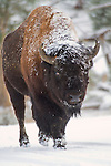 A male bison walks in the snow in Yellowstone.