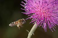 Pollen covered Honey Bee in May. Wild thistle plant.