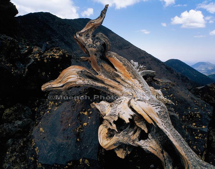 """Remains of old Bristlecone Pine, Humphreys Peak   ARIZONA, San Francisco Peaks"