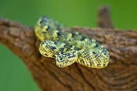 489550003 a captive usambara mountains eyelash bush viper atheris ceratophora sits coiled on a tree stump species is newly recorded and native to the usambara mountains of tanzania