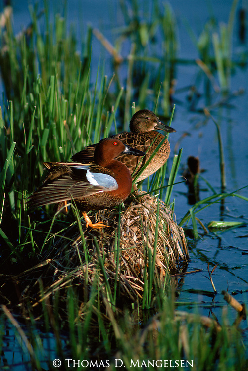 A male and a female cinnamon teal perch on a nest located in shallow grassy waters in Montana.