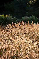 Grass garden flowering seed heads of Fountain Grass, Pennisetum alopecuroides