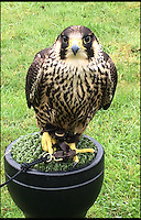 Winkle the falcon patrols the skies.