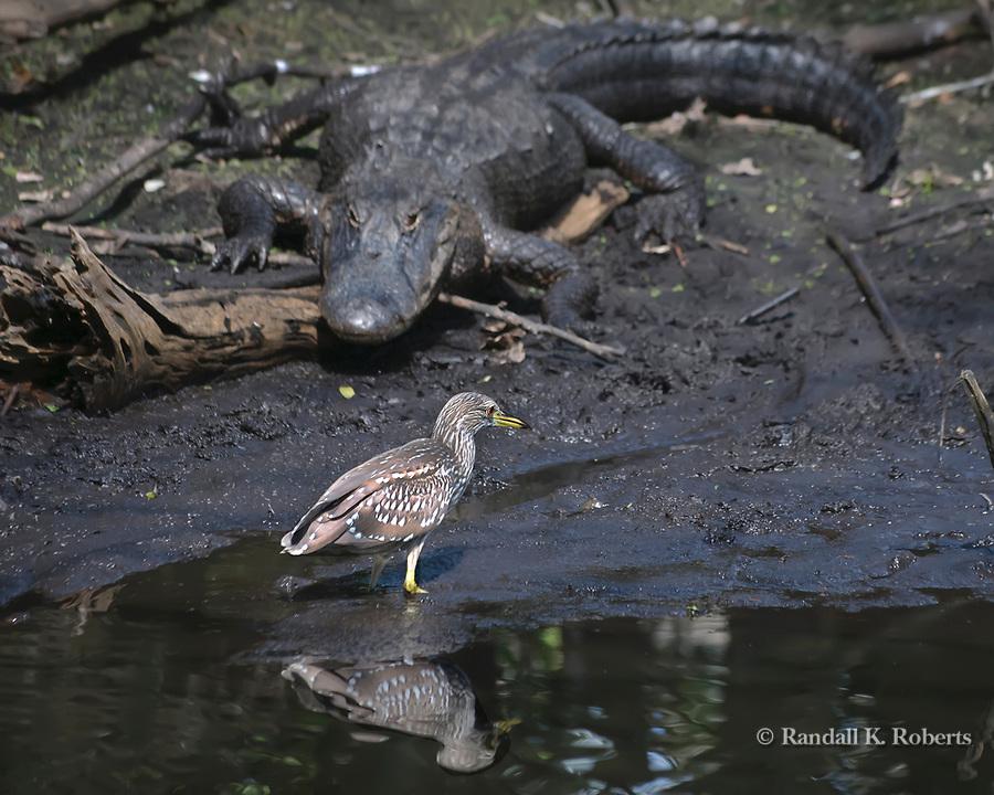 An alligator watches a juvenile Black Crowned Night Heron, Audubon Corkscrew Swamp Sanctuary, Florida