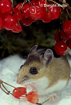 MU12-099z  White-Footed Mouse - eating berries - Peromyscus leucopus
