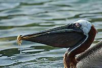 Pelican feeding<br /> Maho Bay<br /> Virgin Islands National Park<br /> St. John, U.S. Virgin Islands
