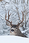 snow cold winter muledeer buck