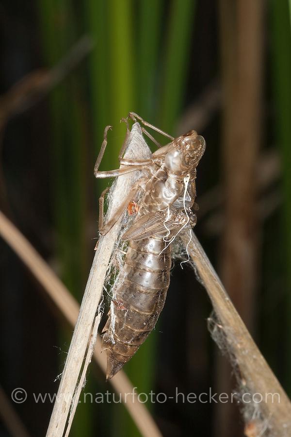 Große Königslibelle, verlassene Larvenhaut, Exuvie, Larve, Libelle ist geschlüpft und die Haut der Larve ist zurückgeblieben, Grosse Königs-Libelle, Anax imperator, Emperor Dragonfly, L´Anax empereur