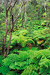 Tree Fern Forest, Hawaii Volcanoes National Park, The Big Island, Hawaii USA