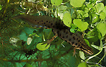 Smooth Newt, male, Triturus vulgaris, in pond, swimming underwater, weed, spotted. .United Kingdom....