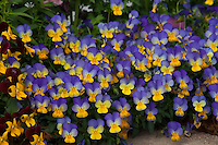 Blue bi-color yellow pansies (Viola) johnny jump up flowers at edge of garden bed