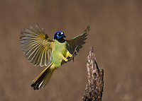 Green Jay (Cyanocorax yncas), adult, Starr County, Rio Grande Valley, South Texas, USA